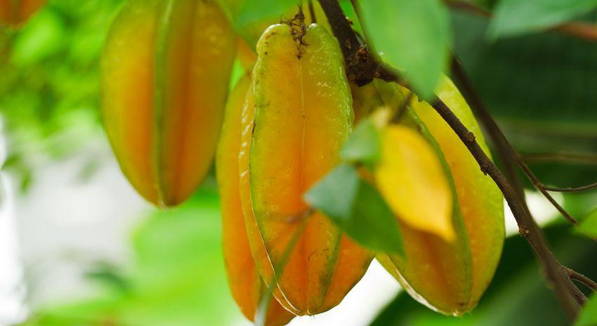Sternfrucht im Gewächshaus des Tropenhaus Frutigen